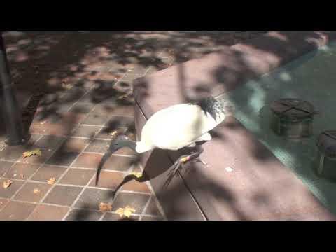 Sydney Ibis