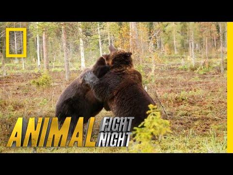 Brown Bear Battle: It's On! | Animal Fight Night
