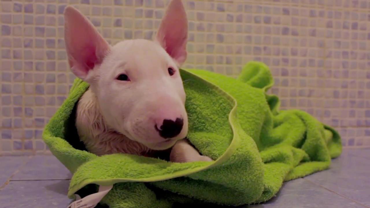 Bull Terrier Puppy Armani 10 Weeks