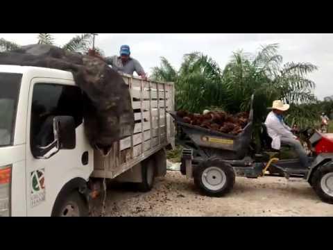 Descarga a 2,30 Plantaciones de Palma en Campeche