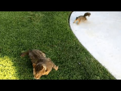 Squirrel Chases Cat | Role Reversal
