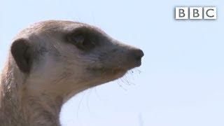 Ernesto, the snake-bitten meerkat's miraculous story - Planet Earth Live - BBC One thumbnail