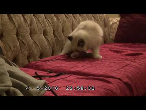 Dangerous Lizard Hunt! -13 week old Ragdoll kitten VS Lizard