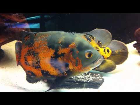 Oscar Fish - Breeding - Laying Eggs