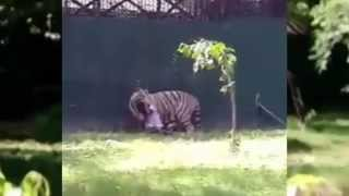 young boy killed inside delhi zoo by white tiger