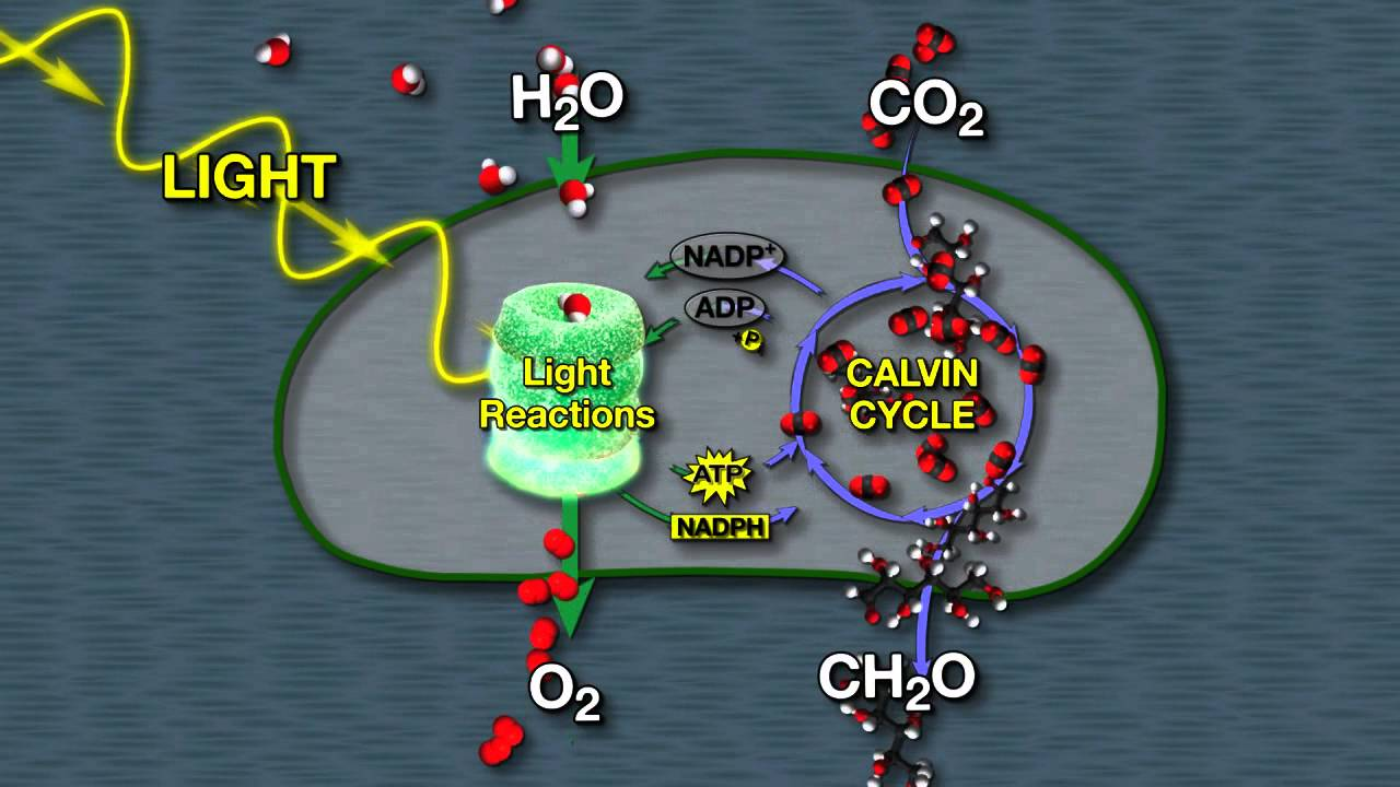 light and dark reaction discussion Learn about light reaction | photosynthesis, difference between light and dark reaction of photosynthesis | calvin cycle animation,where do dark reactions occur.