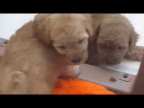 Toy poodle red and apricot poodle puppies