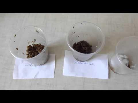 Выращивание шелковицы и уход за деревом. Видео