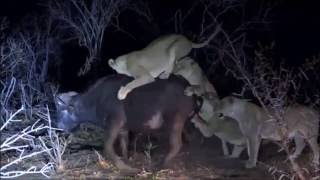 Safari Live : Nkuhuma Pride takes down a Cape Buffalo ( Very Graphic ) Sept 24, 2016 thumbnail