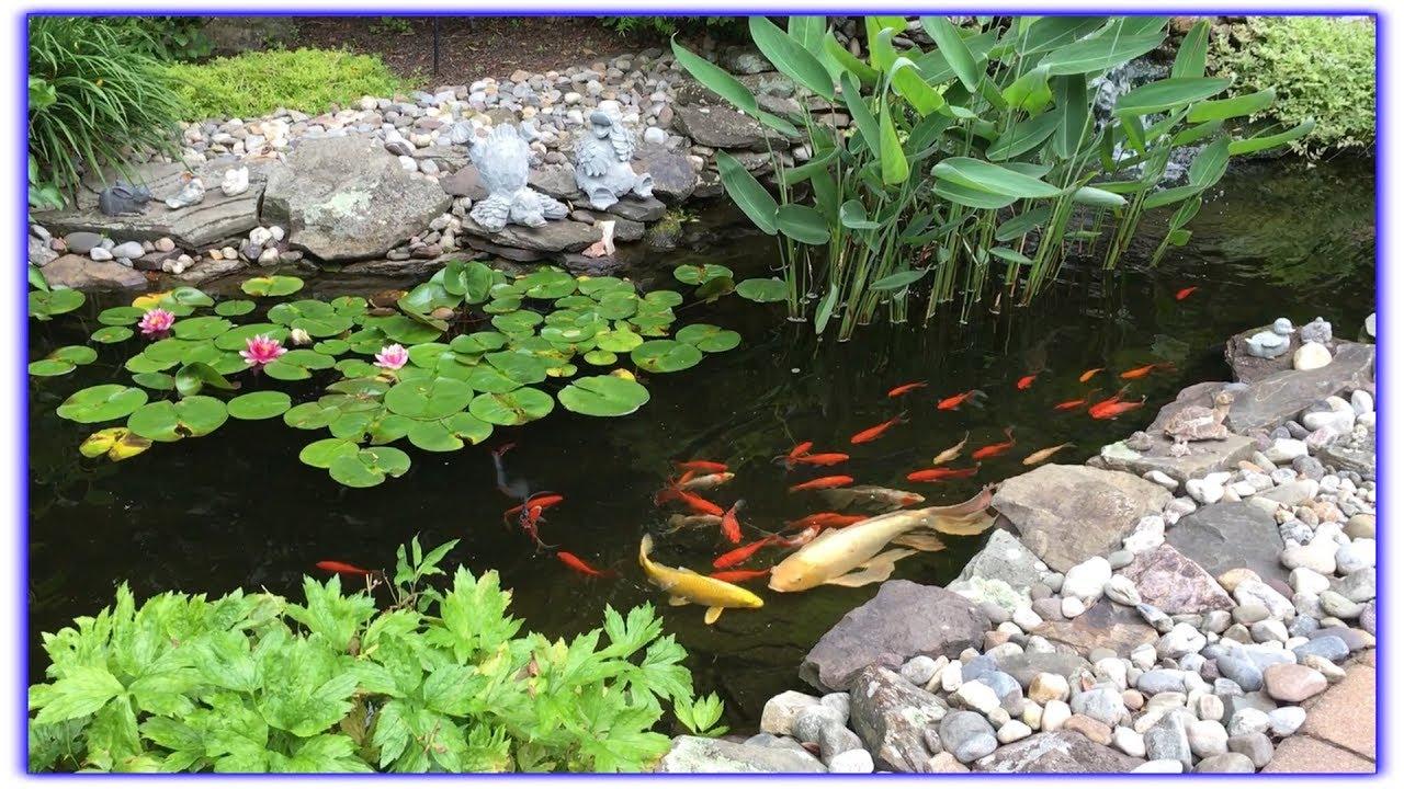 Koi boy is 24 years old large butterfly koi for Best pond plants for goldfish