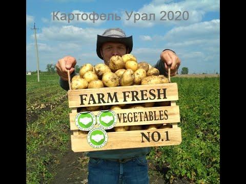 Сорт картофеля Ривьера и др. Урожай 2020. Свердловская область