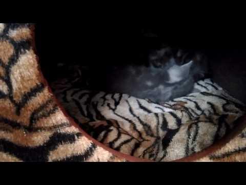 Котята шотландские: плюшевые, скоттиш-фолд и скоттиш-страйт , мрамор на серебре.