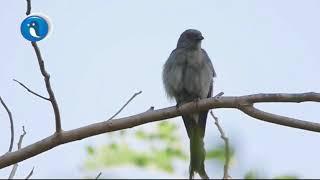 Burung Srigunting Kelabu 1000 Burung