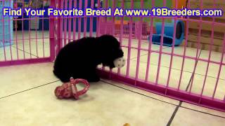 Toy Poodle, Puppies, For, Sale, In, Springfield, Missouri, MO, St  Charles, St  Joseph, O'Fallon, Le