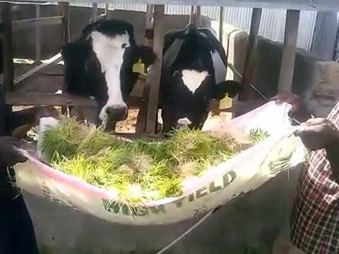 Feeding Cows with Hydroponic Barley Fodder In Kenya