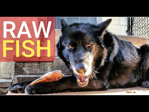 Feeding Whole RAW Fish To My Dog - ASMR K9 Mukbang
