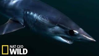 Le requin mako