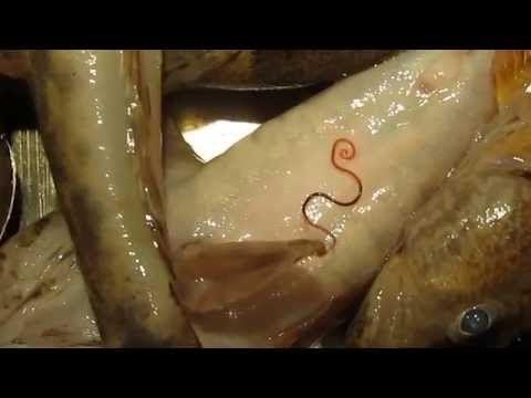 Часть паразитов можно обнаружить в потрохах рыбы: обычно это беловатые черви.