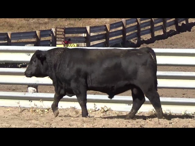 Connealy Angus Lot 153