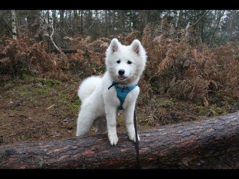 Nova - Samoyed - 3 Weeks Residential Dog Training
