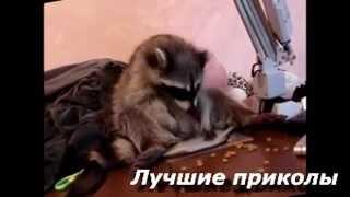 Енот так смешно ест! Приколы с животными! Смешное видео
