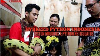 PETERNAK ULAR INDONESIA BERHASIL BUAT ULAR SILANGAN..BATEATER CHEETAH PYTHON