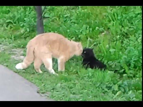 Коты орут друг