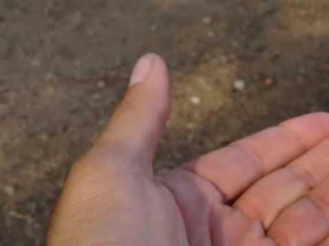 Male Cicada Killer Wasp on Rick's Hand