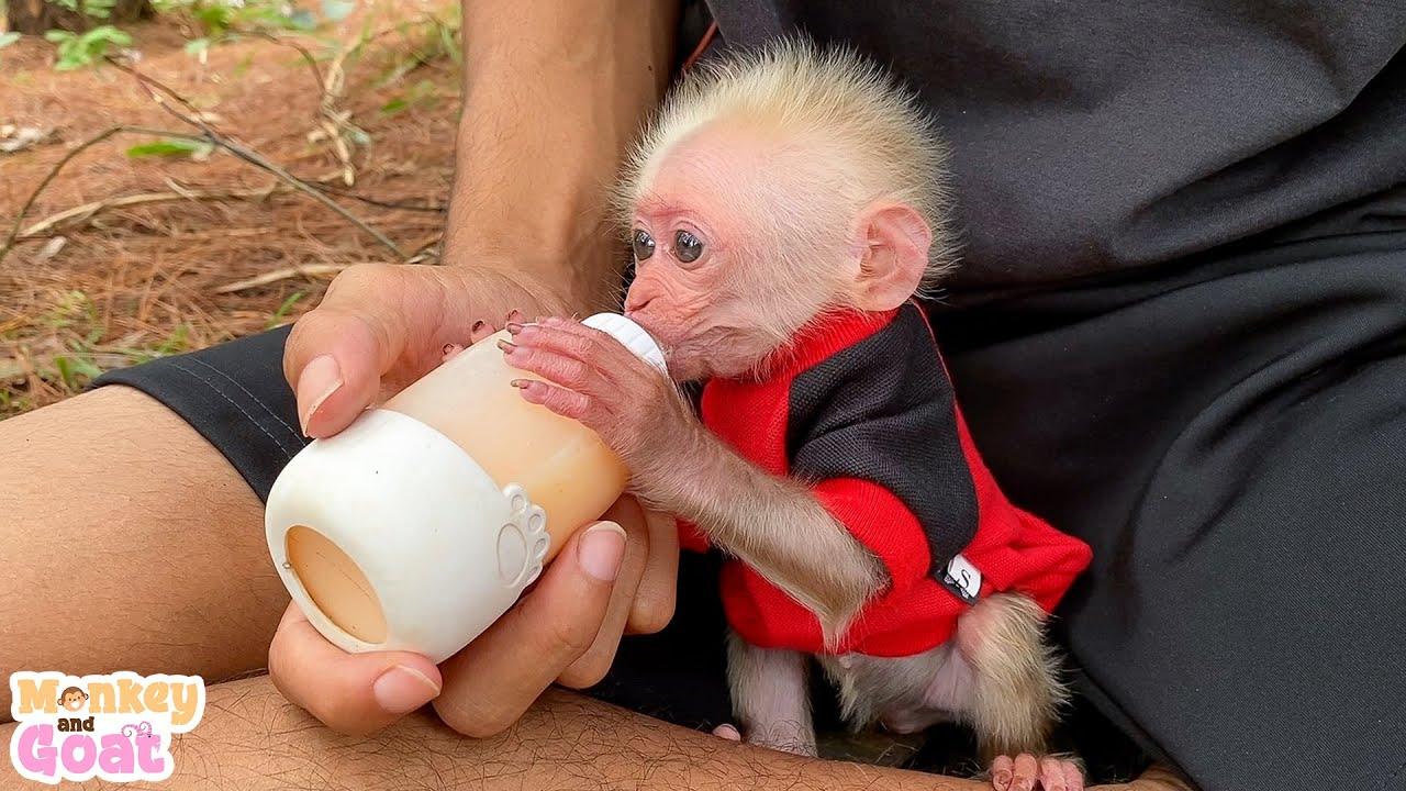 Baby monkey BiBi knows to hold a milk bottle