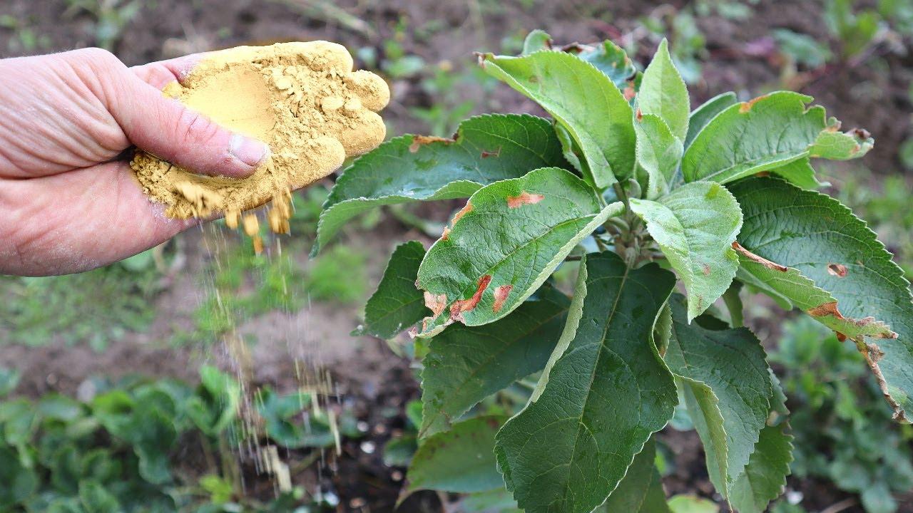 Молодая яблоня укрепится перед морозами если сделать это в октябре ноябре. Молодые яблони к зиме