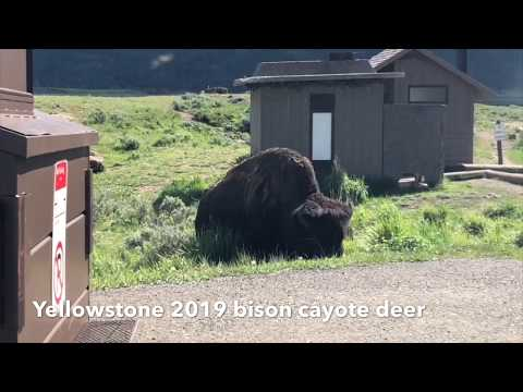 2019 Yellowstone, wild animal, bison, deer, coyotes, amazing view, trip, vocation, family 054