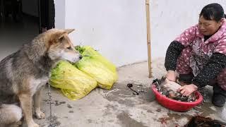 过年吃鸡,中华田园犬灰灰全程忙前忙后,总算是一饱口福!发布中华田园...
