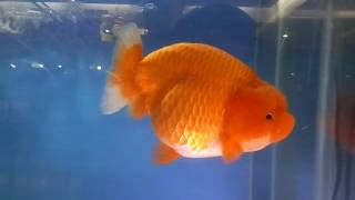 Indonesian Goldfish Competition 2016 (9)