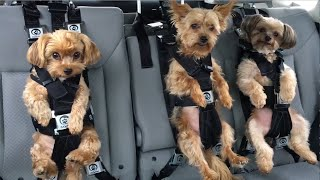 One of the safest dog car seat harnesses in the world