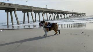 reuben-the-bulldog-4-years-old