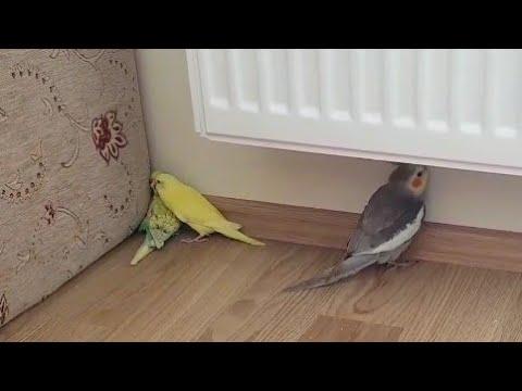 Sultan papağanı ve yavru muhabbet kuşlarının oyunu:)