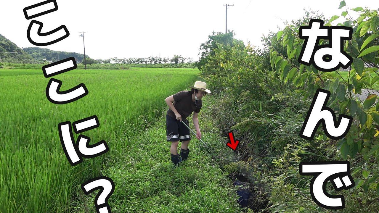 なんで田んぼに【海水魚】がいるの!?