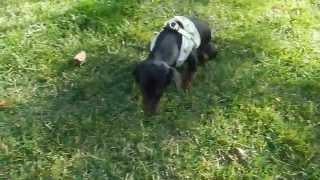 Jax:  A Paralyzed Rescue Dachshund Puppy.