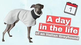 A Day in the Life of an Italian Greyhound