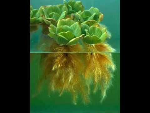 Plantas acuaticas youtube for Plantas para estanques de peces