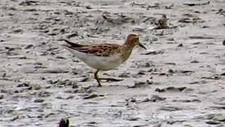 野鳥:アメリカウズラシギ/Wild Birds: Pectoral Sandpiper