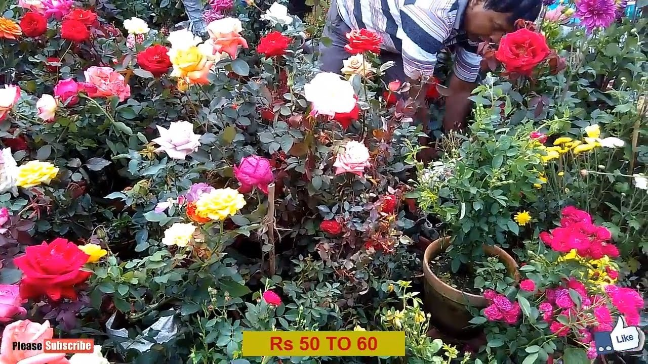 Beautiful Rose Plant Market At Galiff Street In Kolkata