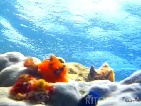 離島の海の中でイバラカンザシと遊ぶ