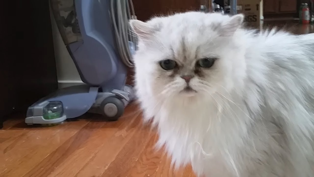 Persian cat Frosty weird strange meows meowing baby Chewbacca meow