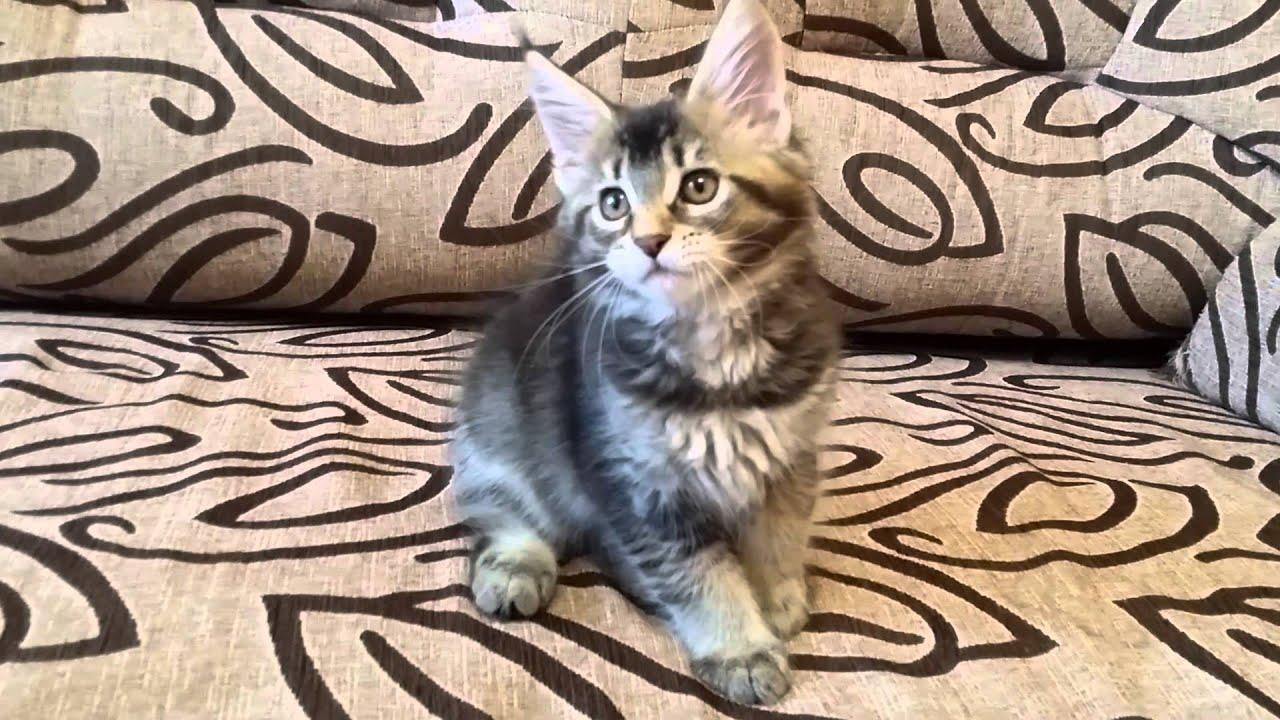 Есть свободные котята гигантских кошек Мейн кун - YouTube