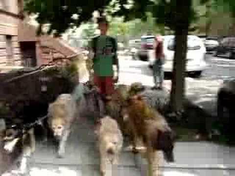 new york dog walk