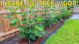 My SECRET To INSANE Fig Tree Vigor!