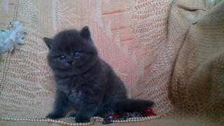 Питомник Шотландских кошек Oksamitova Veselka