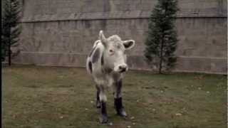 Cow in Wellies.wmv