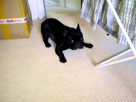 BlanKy French Bulldog Busted In A Bedroom